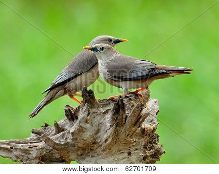 Pair Of Chestnut-tailed Starling Bird (sturnus Malabaricus) Sta Close To Each Other On The Nice Roma