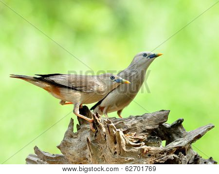 Pair Of Chestnut-tailed Starling Birds (sturnus Malabaricus) In Love Standing On Nice Log