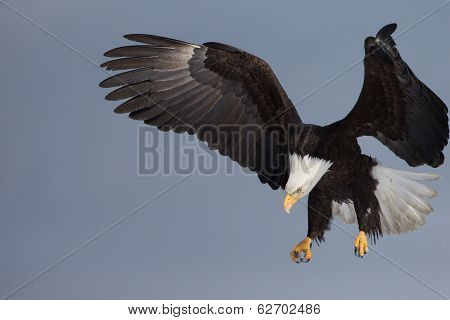 Adult American Bald Eagle landing