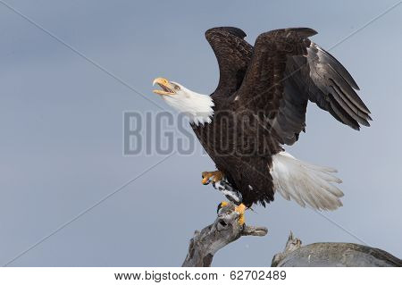 American Bald Eagle perched on drift wood