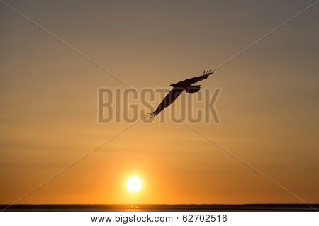 American Bald Eagle soaring at sunset