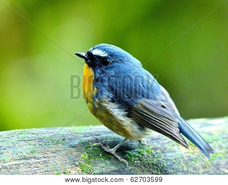 Snowy-browed Flycatcher (ficedula Hyperythra) Cute Blue Bird