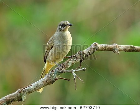Streak-eared Bubul Bird (pycnonotus Blanfordo) Perching On The Branch With Nice Blackground
