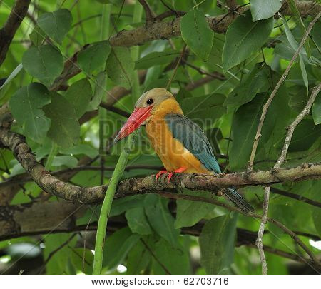 Stork-billed Kingfisher, Halcyon Capensis, Perching On The Tree Waiting For Fishing, Bird