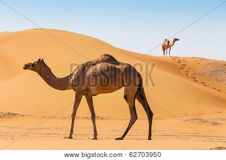 Desert Landscape With Camel