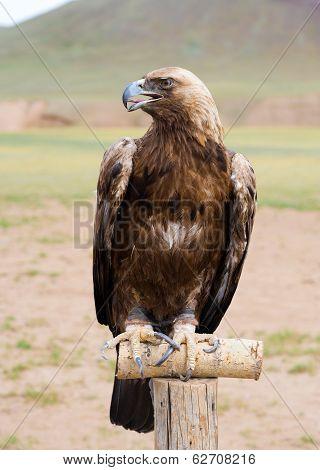 Golden Eagle In Brail