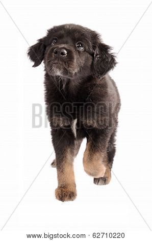 Adorable Puppy Walking On A White Background