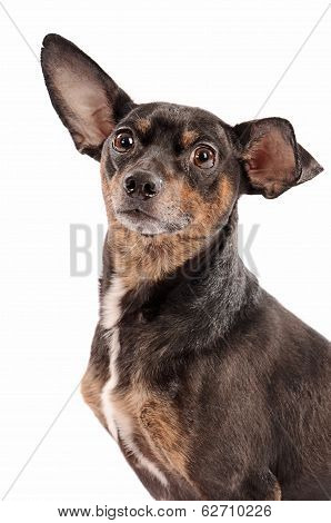 Close-up Of A Chihuahua On A White Background