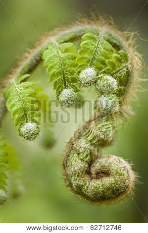 Green Fern Leaf Buds