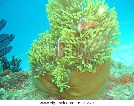 Pink clownfish (amphiprion perideraion)