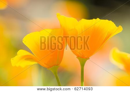 California Golden Poppies
