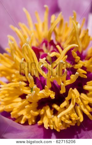Peony Flower Details