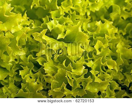 Background from lettuce of lolo rosso green ingridient