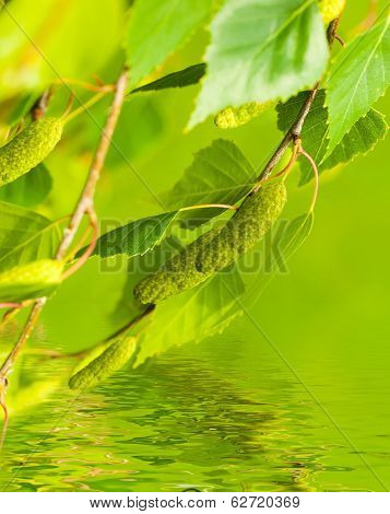 A birch is in spring with green leaves and rings
