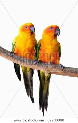 Couple Parrot Isolated