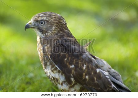 Broad-winged Hawk Profile