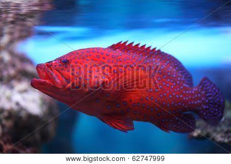 Aquarium Fish, Cephalopholis Miniata