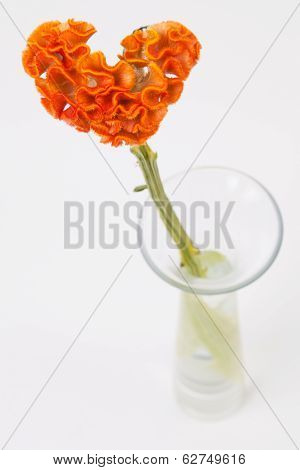 Heart Shaped Crested Celosia In Glass Vase On White