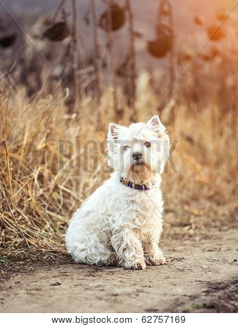 Small dog breeds White Terrier walks in the autumn
