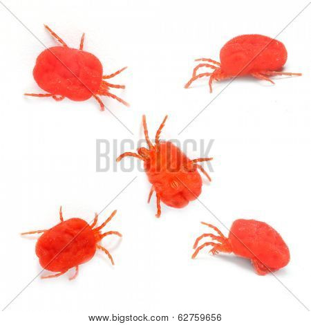 The Red Velvet Mites (Trombidium Holosericeum). The oil from this parasitic bug is used in alternative medicine to increase sexual desire.
