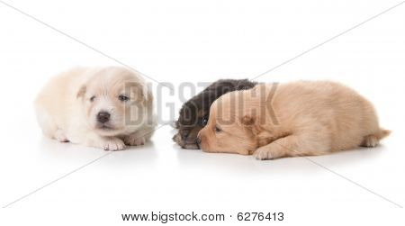 Three Pomeranian Puppies On White