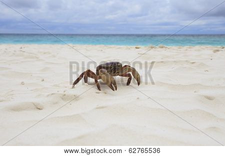 Poo Kai Crab On White Sand Beach Of Tachai Island Similan National Park Southern Of Thailand For Nat
