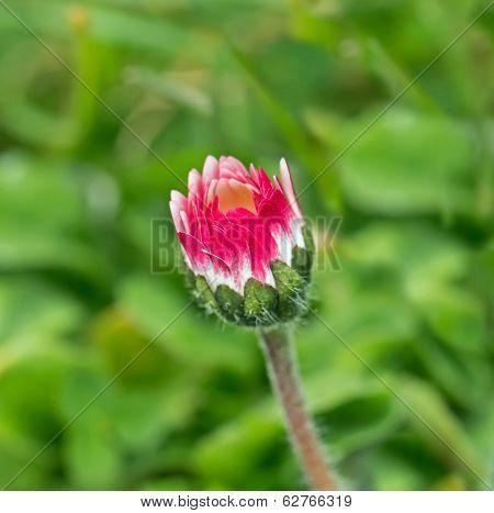 Common Daisy Bud