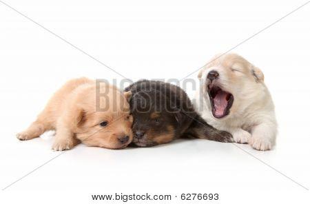 Yawning Cuddly Newborn Puppies