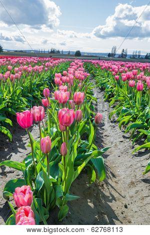 Flowers in Field Pink Tulips