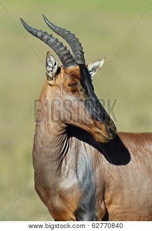 Topi Antelope