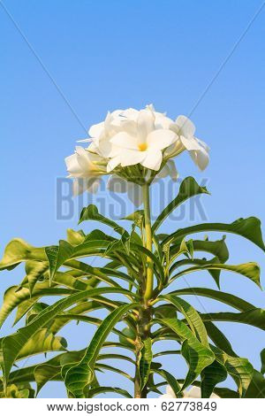 Plumeria pudica, Bridal Bouquet or Fiddle leaf Plumeria