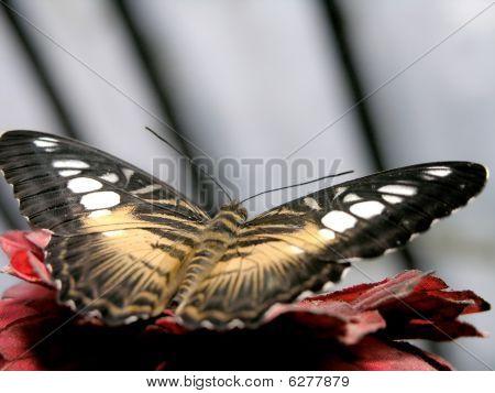 Butterfly (parthenos Sylvia)