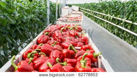 Red Peppers In Harvesting Trolleys