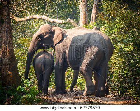 Wild elephant mother and baby