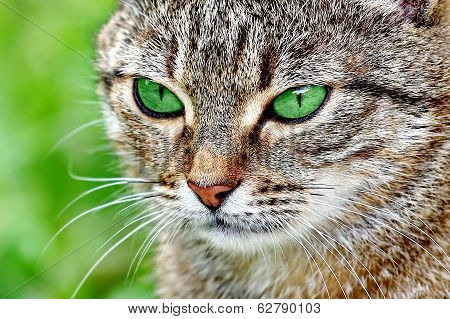 striped cat with green eyes
