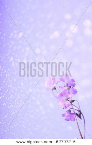 lilac, pink, purple beauty Oxalis Oxalidaceae blooms flowering spring