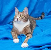 picture of yellow tabby  - Tabby cat with yellow eyes lying quietly on blue background - JPG
