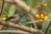 image of babbler  - A Brown Babbler  - JPG
