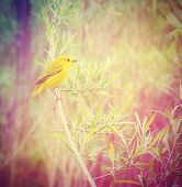stock photo of goldfinches  - a yellow goldfinch on a branch done with a retro vintage instagram filter - JPG
