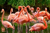 foto of pink flamingos  - Group of red flamingos at the water with green foliage in the background