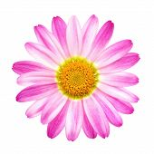picture of oxen  - Studio closeup of a perfect pink daisy on pure white background - JPG