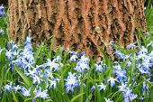 picture of windflowers  - Blue and white windflower with walnut tree in background