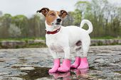 image of rainy season  - dog wearing pink rubber boots inside a puddle - JPG