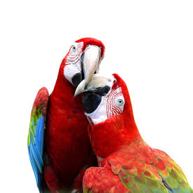 stock photo of green-winged macaw  - Best of kissing sweet macaw green-winged macaw red green blue macaw green wings macaw red macaw ** Note: Soft Focus at 100%, best at smaller sizes - JPG
