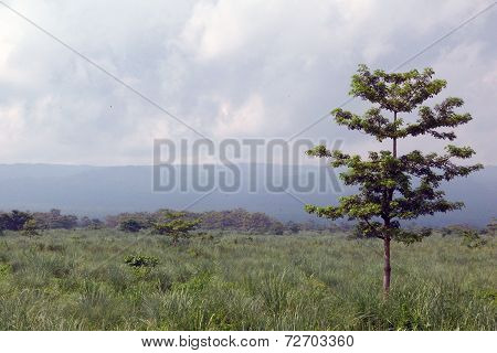 Lone Tree On Grassland, Chitwan National Park