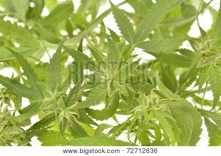 Compromised wild hemp isolated