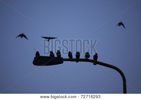 Silhouette Of Jackdaws Sitting On Streetlight