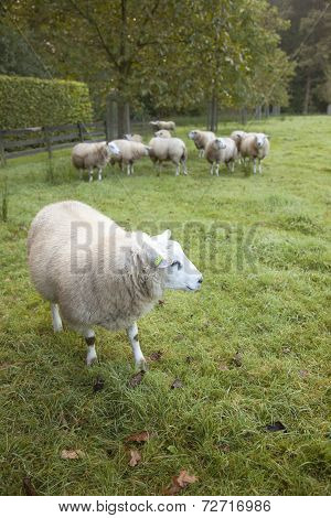 Sheep In An Orchard In The Netherlands Near Utrecht