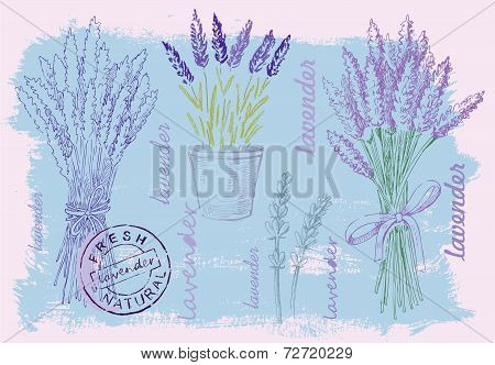 illustration of lavender