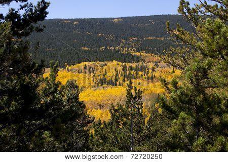 Aspen Covered Mountain Framed By Pine Trees